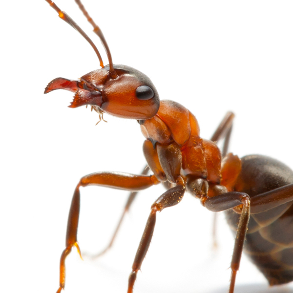 Ant Removal Denver CO