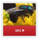 Bees - A1 Environmental Pest Management & Consulting - bees