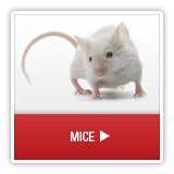 Mice - A1 Environmental Pest Management & Consulting - mice