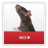 Rats - A1 Environmental Pest Management & Consulting - rats