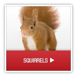 Squirrels - A1 Environmental Pest Management & Consulting - squirrels