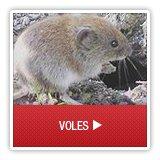 Voles - A1 Environmental Pest Management & Consulting - voles