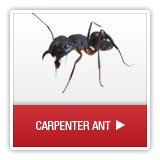 Ants - A1 Environmental Pest Management & Consulting - carpenterant