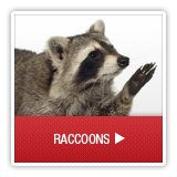 Raccoon - A1 Environmental Pest Management & Consulting - raccoon