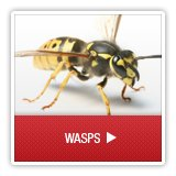 Wasps - A1 Environmental Pest Management & Consulting - wasps